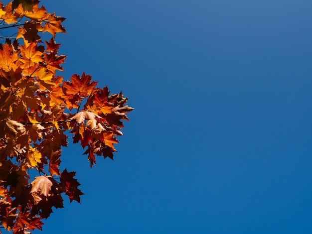 青い空の背景、秋の背景、コピースペースに明るいカエデの葉。