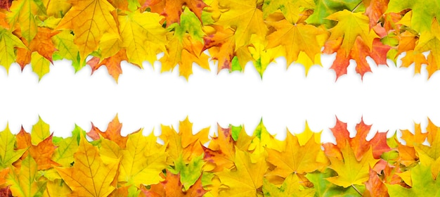 Bright multicolored maple leaves isolated on white background. banner with autumn leaves border.