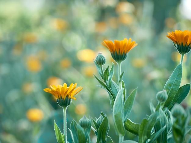 Ярко-оранжевые цветки календулы (calendula officinalis)