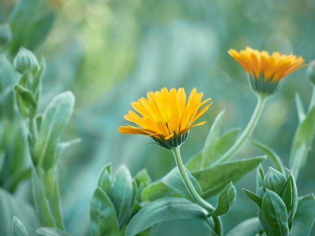 Ярко-оранжевые цветки календулы