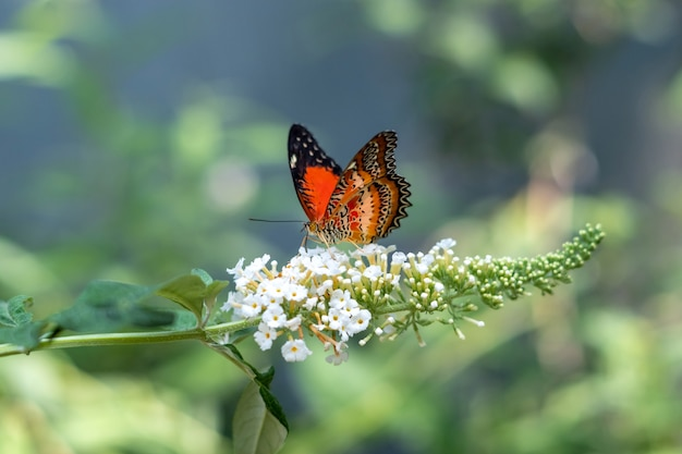 Bright orange cethosia hypsea or malay lacewing butterfly of the family nymphalidae
