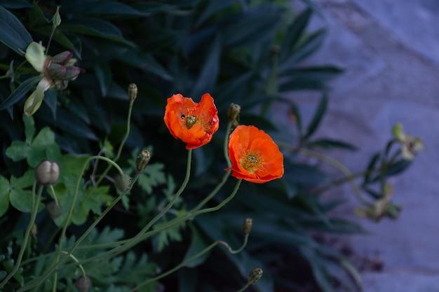 Ярко-оранжевые цветы в саду