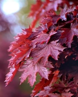 Ярко-оранжевые кленовые листья. японский клен пальмы. выборочный фокус.