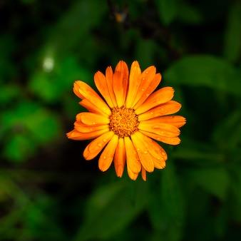 진한 녹색 단풍에 밝은 오렌지 메리 골드 꽃