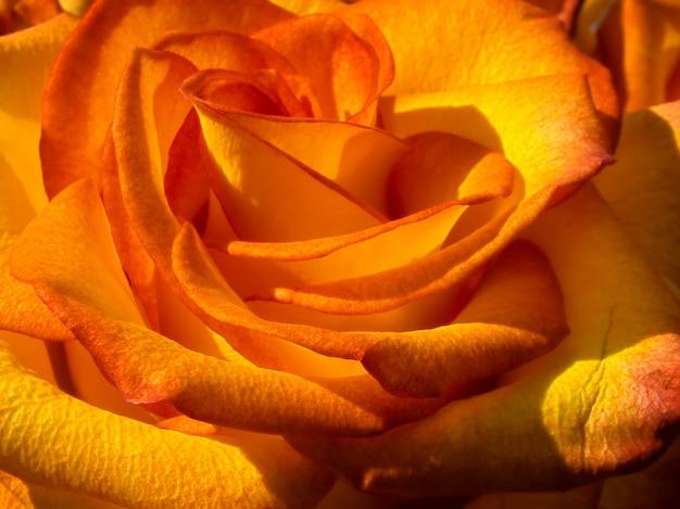 Ярко оранжевая роза