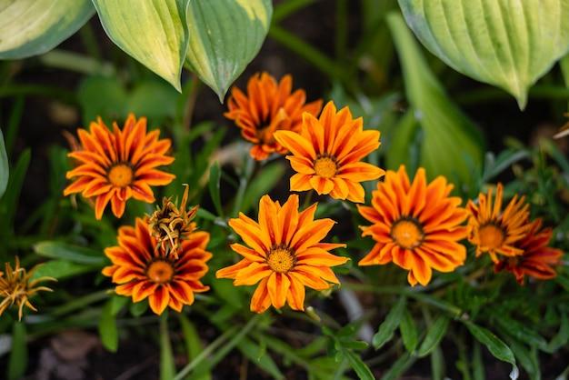 Ярко-оранжевые желтые цветы газании, произрастающие в южной африке, африканские ромашки