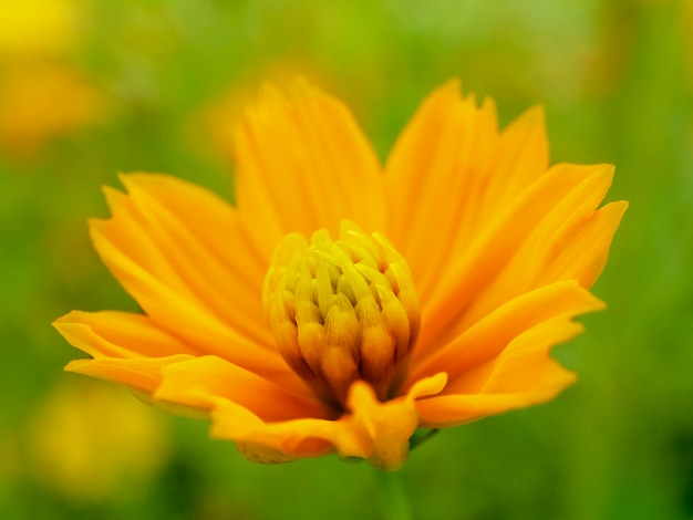 Bright perfect yellow cosmos flower in garden