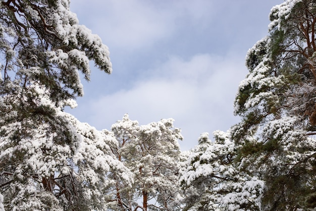 Bright pine trees in snow with dark cloudy sky on the background