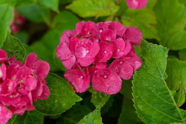 정원에 있는 수국의 밝은 분홍색 꽃. 원예 및 심기