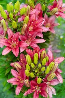 햇볕이 잘 드는 정원에서 녹색 단풍의 배경에 밝은 분홍색 백합 꽃