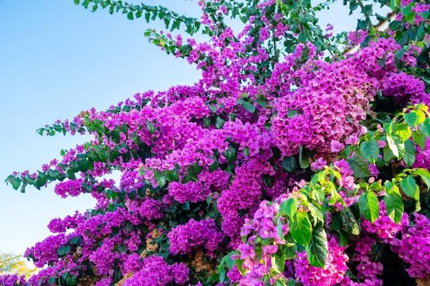 Bright pink magenta bougainvillea flowers on blue sky