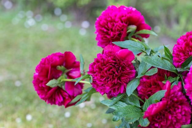 明るいピンクの牡丹が夏に庭に咲く