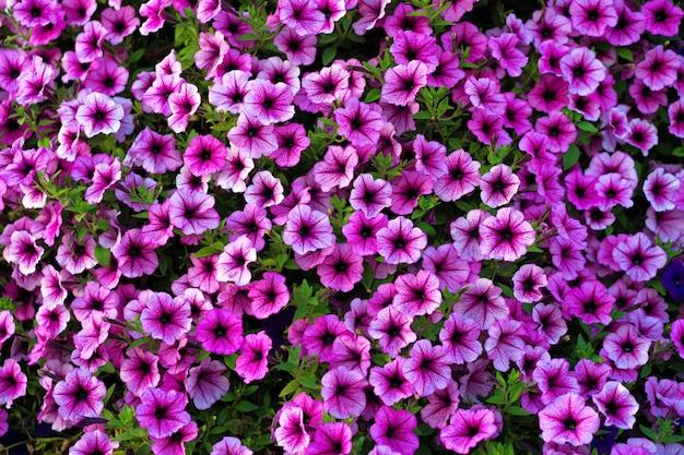 표면에 밝은 분홍색 피튜니아 꽃