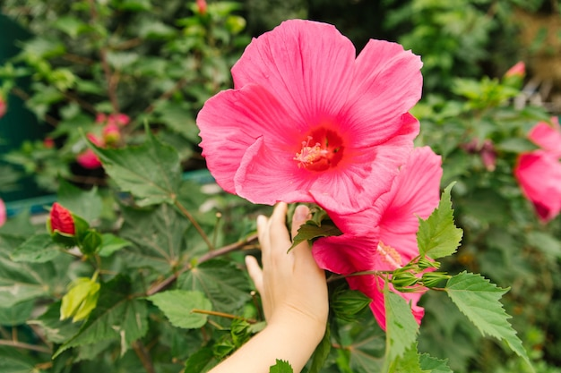Bright pink tropical hibiscus flower, green leaves on a natural background. decorative flower in the home garden.
