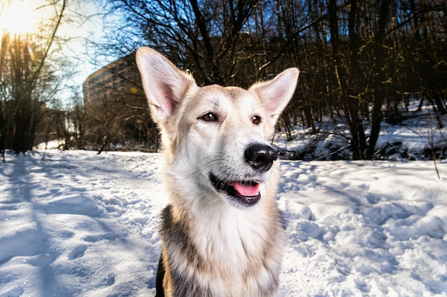 Bright portrait of a mixed breed dog looking like fox sitting on snow in winter forest