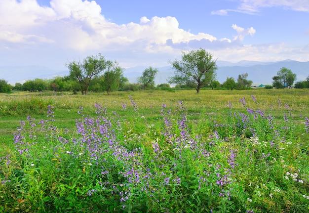 青い曇り空の下で霞んで山を背景に緑の牧草地に明るい紫と紫の花。アルタイ、シベリア、ロシア