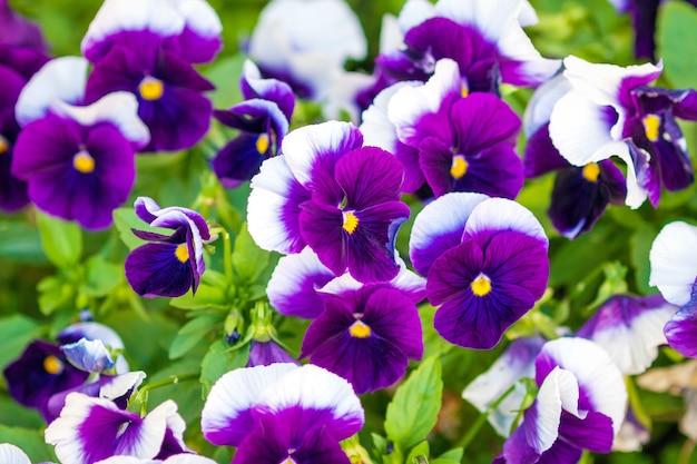 明るい紫と白のガーデンパンジー
