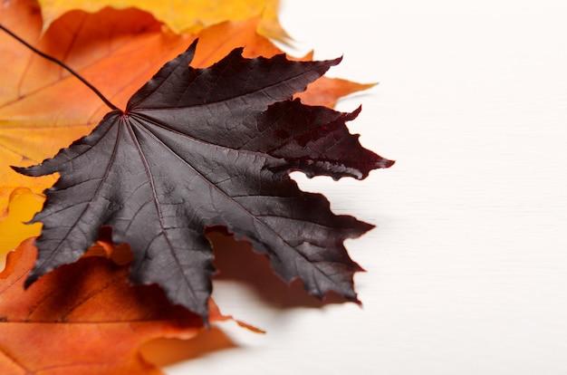 Яркий фиолетовый осенний кленовый лист на белом фоне