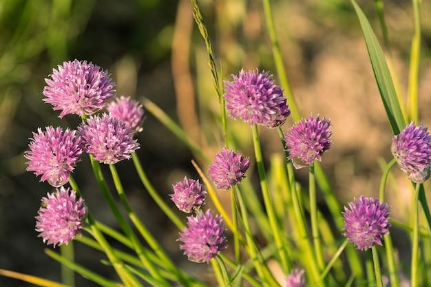 Яркие фиолетовые цветы в саду, под лучами заходящего солнца.