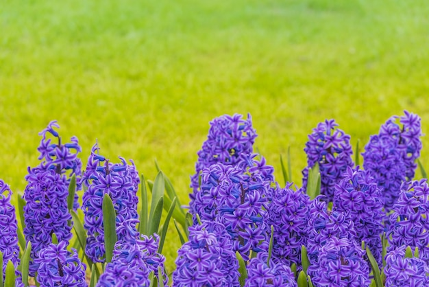 Bright purple hyacinths on a meadow