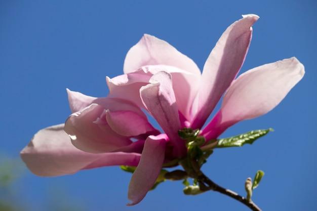 Ярко-фиолетовый цветок магнолии на ветке дерева