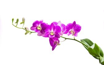 Bright purple orchid