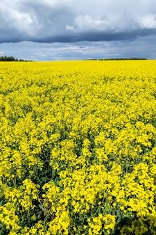 밝은 유채 꽃 필드. 꽃 카놀라의 큰 노란색 필드입니다.