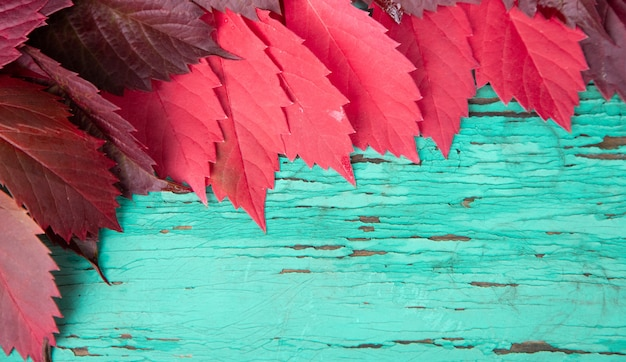 Bright raspberry leaves of wild grapes lie on old boards of turquoise color with cracked paint.