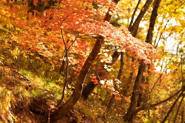 秋の森の中の鮮やかな赤とオレンジの木