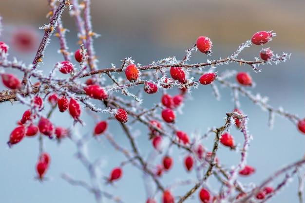 Ярко-красные ягоды шиповника на размытом фоне реки зимой