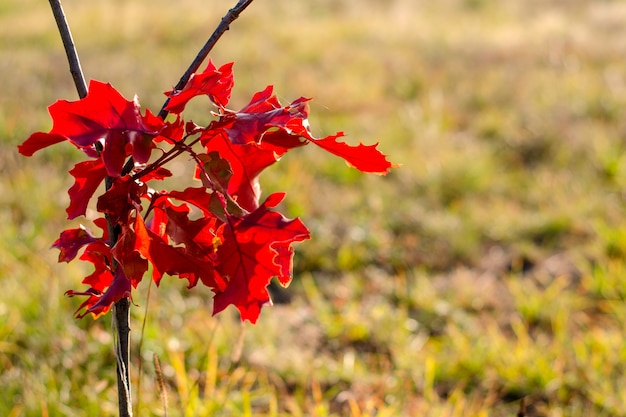 Bright red branch of maple leaves on blurred