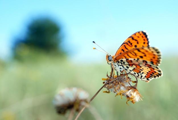 牧草地の真っ赤な蝶 Premium写真