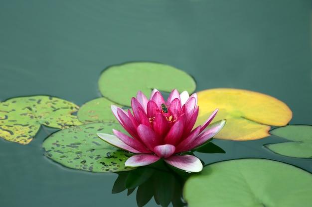 真っ赤な花ユリ蓮の水