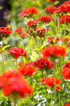Lychnischalcedonicaの真っ赤な花。サマーガーデンのマルタ十字植物。