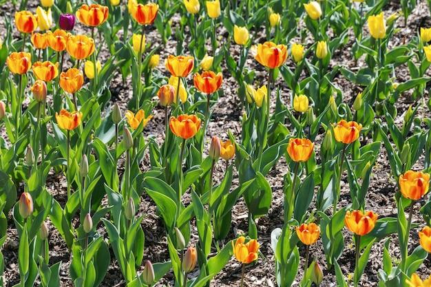 日光と自然の中で真っ赤な花のチューリップ。