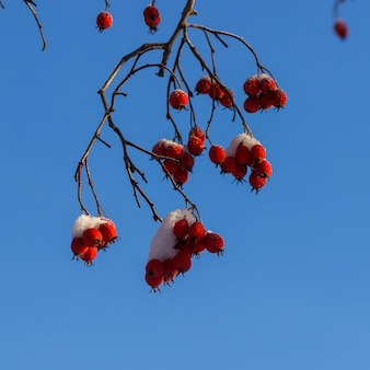 Ярко-красный боярышник в снегу