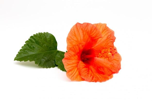 白い背景の上の緑の葉と明るい赤いハイビスカスの花。