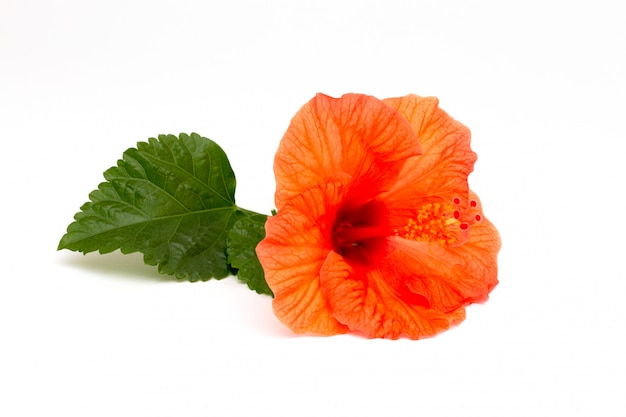 Bright red hibiscus flower with green leaf on white background.