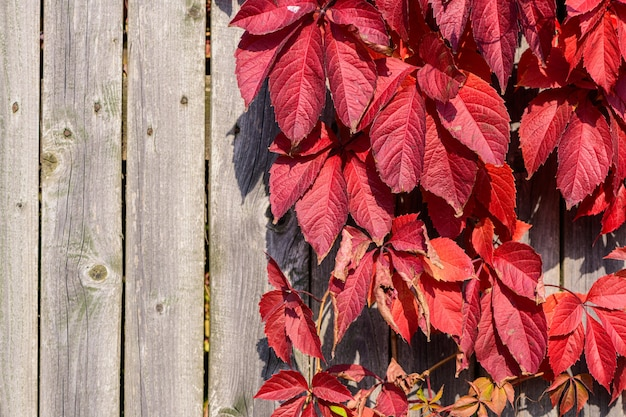 Bright red leaves of garden plants on woodel old plank wall