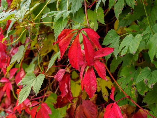 野生ブドウの真っ赤な葉ツタ秋の季節秋の背景の概念