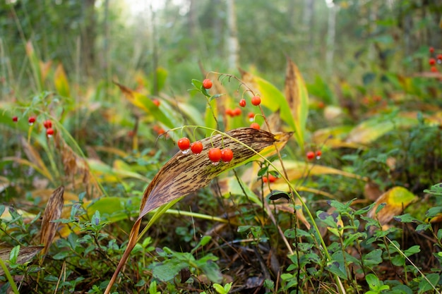 Ярко-красные ягоды ландыша с каплями росы. лесная поляна.