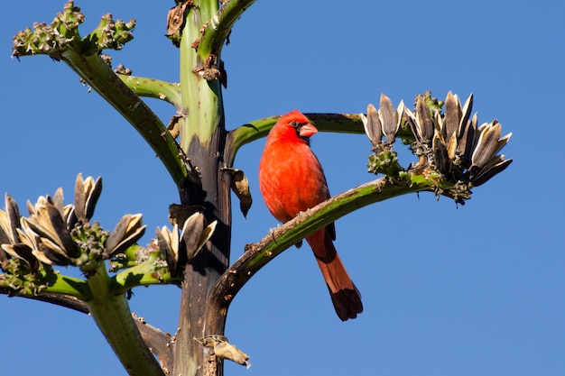 Bright red northern cardinal perched on an agave branch in the arizona desert