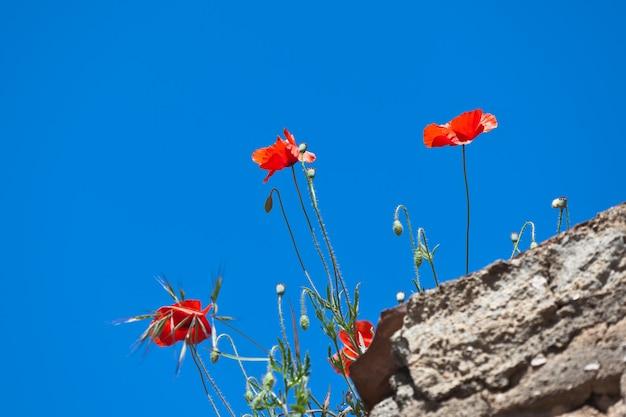 돌담에 밝은 붉은 양귀비. 맑고 푸른 하늘을 배경으로. 선택적 초점입니다.