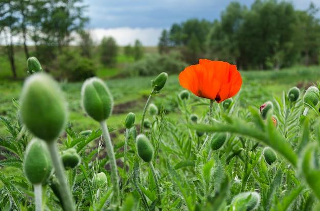Ярко-красный цветок мака в поле 2