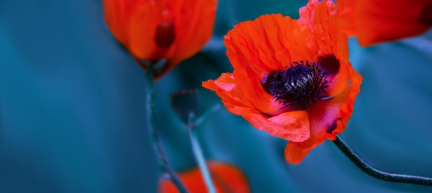 Bright red poppy flowers in a spring field on nature on a blue wall with soft focus, macro. artistic photo with soft bokeh in blue tinting, banner with space for text. wallpaper.
