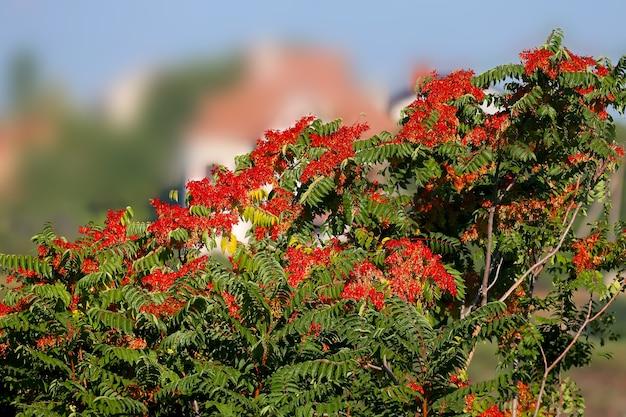 真っ赤な木の種が青い空を背景に緑の葉の横で撃たれます