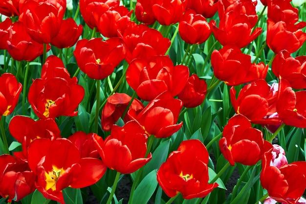 庭の緑の芝生の真っ赤なチューリップ