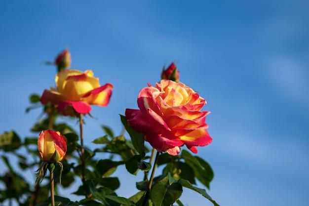 青い空を背景にした明るいバラ-オリエント急行のバラと黄赤色の大きな花