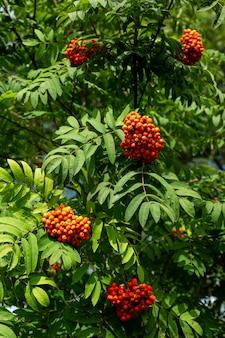 화창한 날에 나무에 밝은 마가목 열매. 자연에서 온 비타민. 수직의.