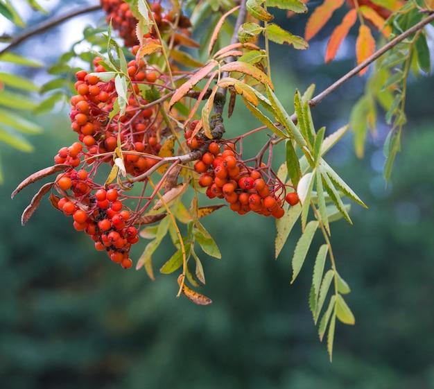 木の上の明るいナナカマドの果実